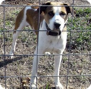 Boxer/Hound (Unknown Type) Mix Dog for Sale in Moulton, Alabama - Butch
