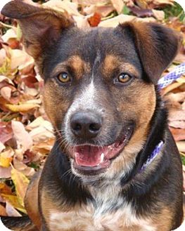 Australian Cattle Dog Mix Dog for Sale in Red Bluff, California - Zepplin