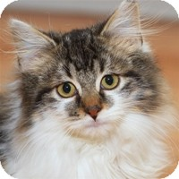 Domestic Longhair Kitten for Sale in Albany, New York - Ruger