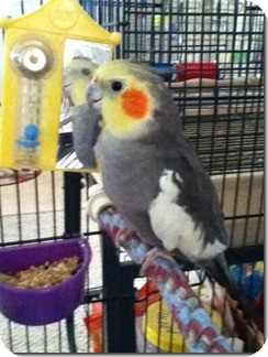 Cockatiel for Sale in Tampa, Florida - Nugget