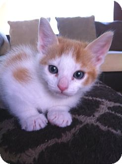 Domestic Shorthair Kitten for Sale in Irvine, California - SIMBA