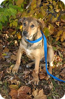 Shepherd (Unknown Type) Mix Puppy for adption in Nashville, Tennessee - Beauty