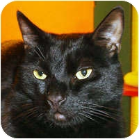 Domestic Shorthair Cat for adoption in Alameda, California - MURPHY