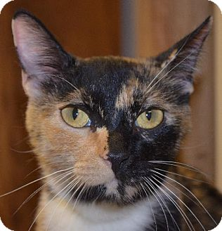 Domestic Shorthair Cat for adoption in Peoria, Arizona - Romy