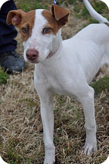 Greyhound/Rat Terrier Mix Puppy for Sale in Glastonbury, Connecticut - Mel-meet me!