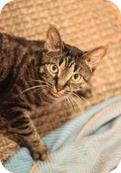 Domestic Shorthair Cat for Sale in Manhattan, New York - ANGELA