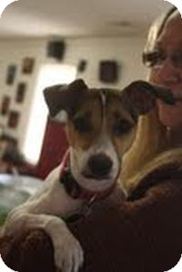 Jack Russell Terrier Mix Dog for Sale in Marietta, Georgia - Emily