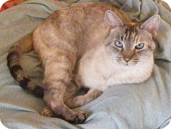 Siamese Cat for Sale in Emsdale (Huntsville), Ontario - Blue - Siamese!