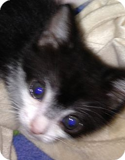 Domestic Shorthair Kitten for adoption in New York, New York - Diamond and Jewel