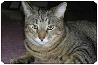 Domestic Shorthair Cat for adoption in Sterling Heights, Michigan - Georgie