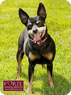 Manchester Terrier/Lancashire Heeler Mix Dog for Sale in Marina del Rey, California - Rocky