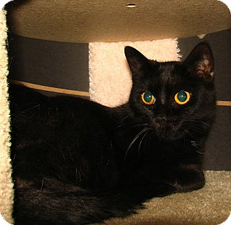 Domestic Shorthair Cat for adoption in Oxford, New York - Coco