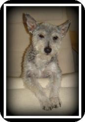 Schnauzer (Miniature)/Poodle (Miniature) Mix Dog for Sale in Indian Trail, North Carolina - Mowgli