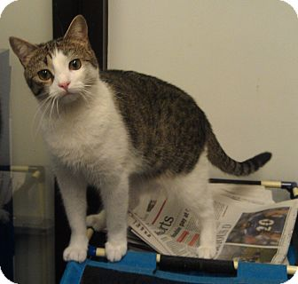 Domestic Shorthair Cat for Sale in Greenville, South Carolina - Daisy