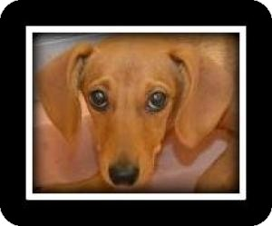 Dachshund Mix Puppy for Sale in Indian Trail, North Carolina - Janie