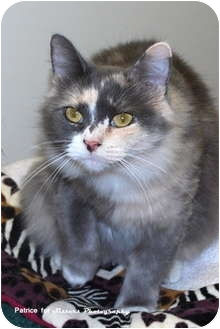 Domestic Mediumhair Cat for adoption in Lincoln, Nebraska - Shyla