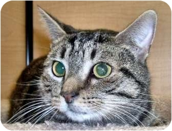 American Shorthair Cat for adoption in Richmond, Virginia - L&#39;il Ned