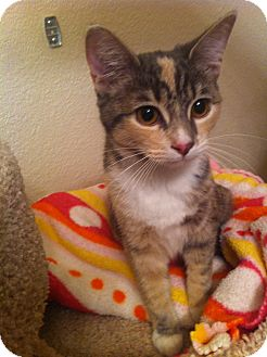 Domestic Shorthair Cat for Sale in Fountain Hills, Arizona - NOELLE