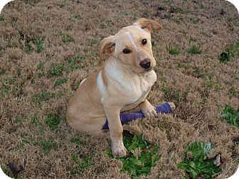 Labrador Retriever/Cattle Dog Mix Puppy for adption in Starkville, Mississippi - Lucky