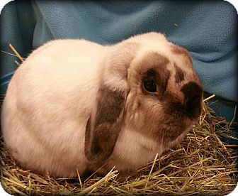 Lop, Holland Mix for Sale in Williston, Florida - PepperJack