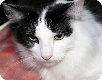 Domestic Mediumhair Cat for adoption in Plainwell, Michigan - Geronimo