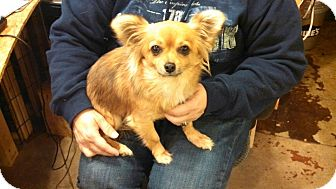 Chihuahua/Pomeranian Mix Dog for Sale in Hagerstown, Maryland - Chi Chi