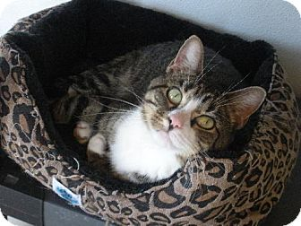 Domestic Shorthair Cat for adoption in Elizabeth City, North Carolina - Prada