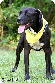 Labrador Retriever/Great Dane Mix Dog for Sale in Wilmington, Delaware - Juliette