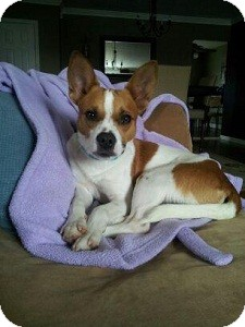 Jack Russell Terrier/Basenji Mix Dog for Sale in North Wales, Pennsylvania - Alex