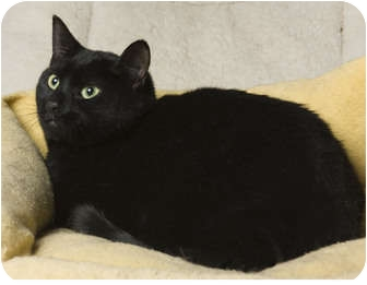 Domestic Shorthair Cat for adoption in Little Falls, New Jersey - Ricky (MP)