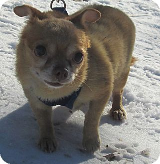 Chihuahua Mix Dog for Sale in Forked River, New Jersey - Lulu