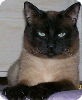 Siamese Cat for adoption in San Luis Obispo, California - Mr.Bigglesworth
