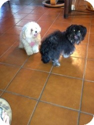 Pomeranian/Maltese Mix Dog for Sale in Marlton, New Jersey - Kai-Kai