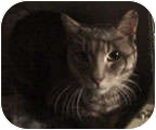Domestic Mediumhair Cat for adoption in New York, New York - Jack