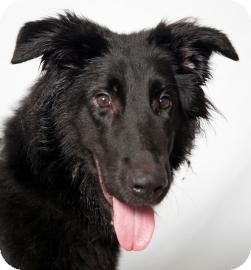 Border Collie/Labrador Retriever Mix Dog for Sale in Brooklyn, New York - Tonka