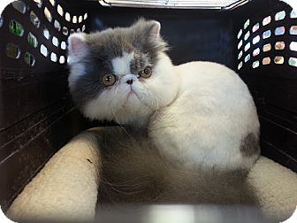 Persian Kitten for Sale in Beverly Hills, California - mizu