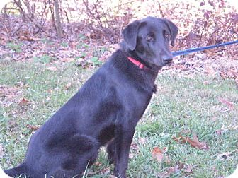 Labrador Retriever/Collie Mix Dog for Sale in New Castle, Pennsylvania - Corky
