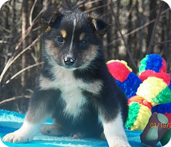 Shepherd (Unknown Type)/Husky Mix Puppy for Sale in Sussex, New Jersey - Nanook