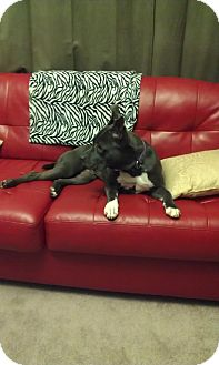 Pit Bull Terrier Dog for Sale in Chicago, Illinois - Jules