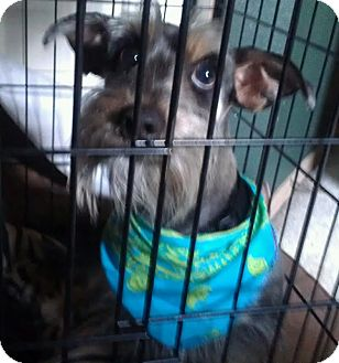Schnauzer (Miniature)/Dachshund Mix Dog for Sale in Phoenix, Arizona - Benjamin - NON SHED!