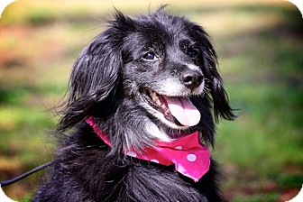 Spaniel (Unknown Type)/Border Collie Mix Dog for Sale in Wilmington, Delaware - Colleen