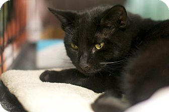 Domestic Shorthair Kitten for adoption in New York, New York - Jetson