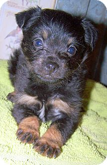 Chihuahua/Cairn Terrier Mix Puppy for Sale in Sherman, Connecticut - Patricia Betty's Dog