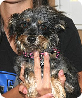 Yorkie, Yorkshire Terrier/Terrier (Unknown Type, Small) Mix Dog for Sale in Temecula, California - Hope