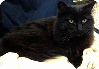 Domestic Mediumhair Cat for Sale in Alexandria, Virginia - Indigo