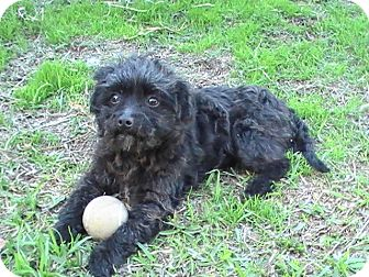 Poodle (Toy or Tea Cup) Dog for Sale in San Diego, California - PRINCE, 6 Lbs!