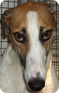 Greyhound Dog for adption in Longwood, Florida - Starz Jaque