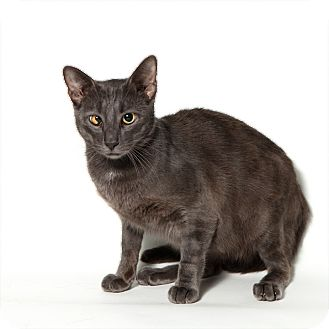 Domestic Shorthair Cat for Sale in Rockaway, New Jersey - Colt