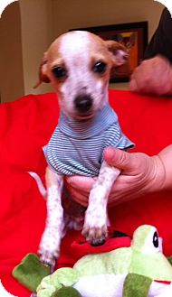 Rat Terrier Mix Puppy for Sale in Irvine, California - FRECKLES, 3 Lb puppy