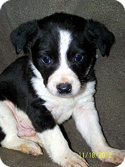 Border Collie/Australian Cattle Dog Mix Puppy for Sale in Niagra Falls, New York - Bud $75.00 OFF ADOPTION